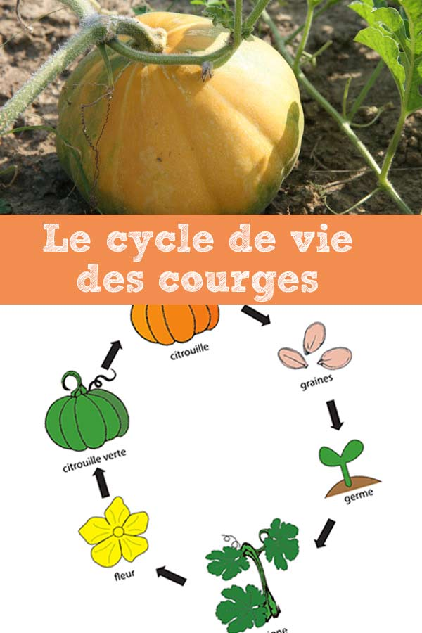 cycle-courge